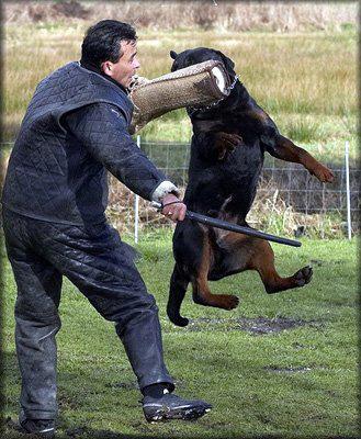 Rottweiler schutzhund training video