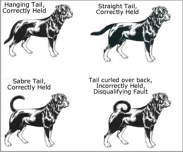 rottweiler conformation tail