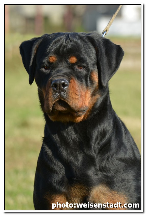 What makes a rottweiler mean