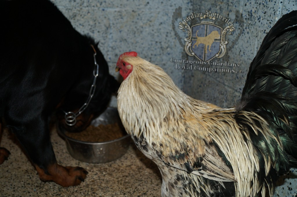 Roxi_Rooster05