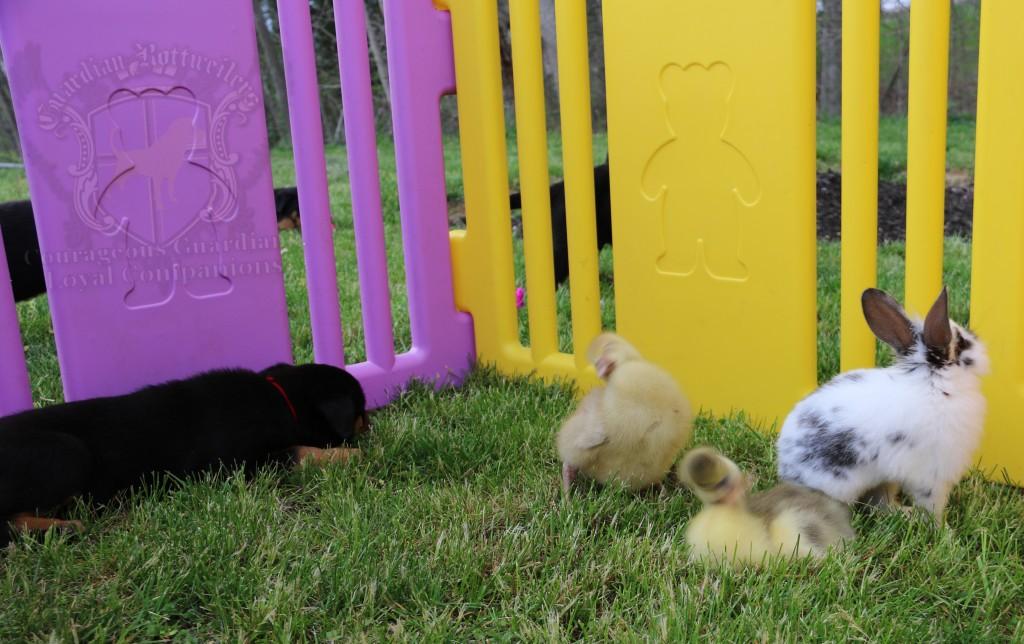 BunniesGeesePuppies01