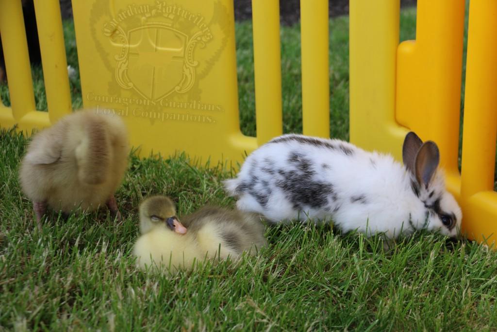 BunniesGeesePuppies02