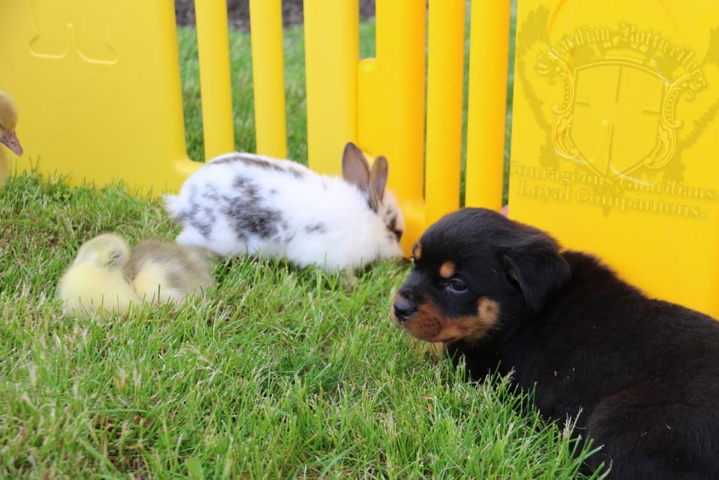 BunniesGeesePuppies03