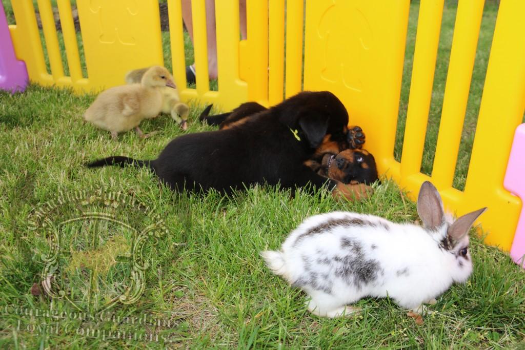 BunniesGeesePuppies06