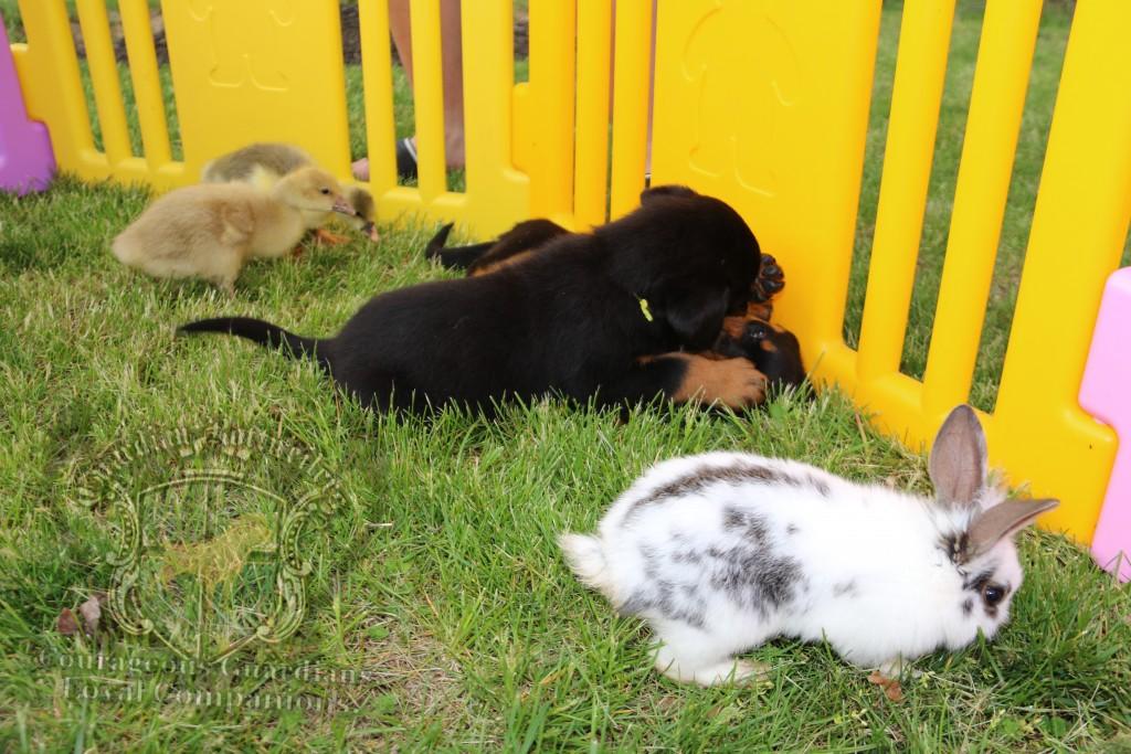 BunniesGeesePuppies07