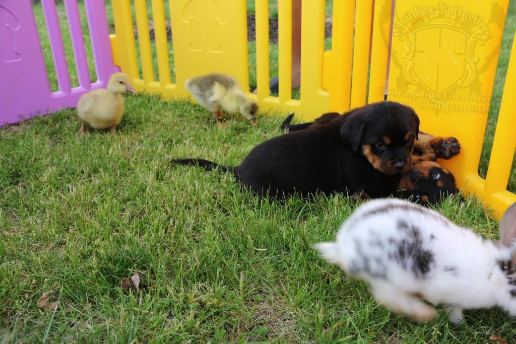 BunniesGeesePuppies08