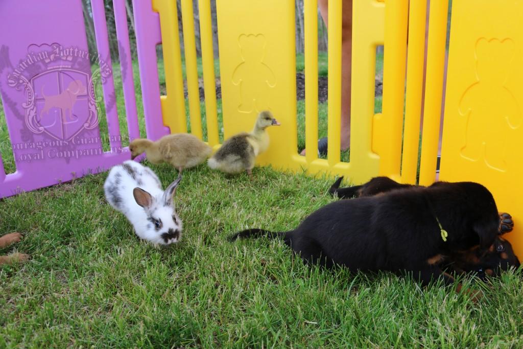 BunniesGeesePuppies11