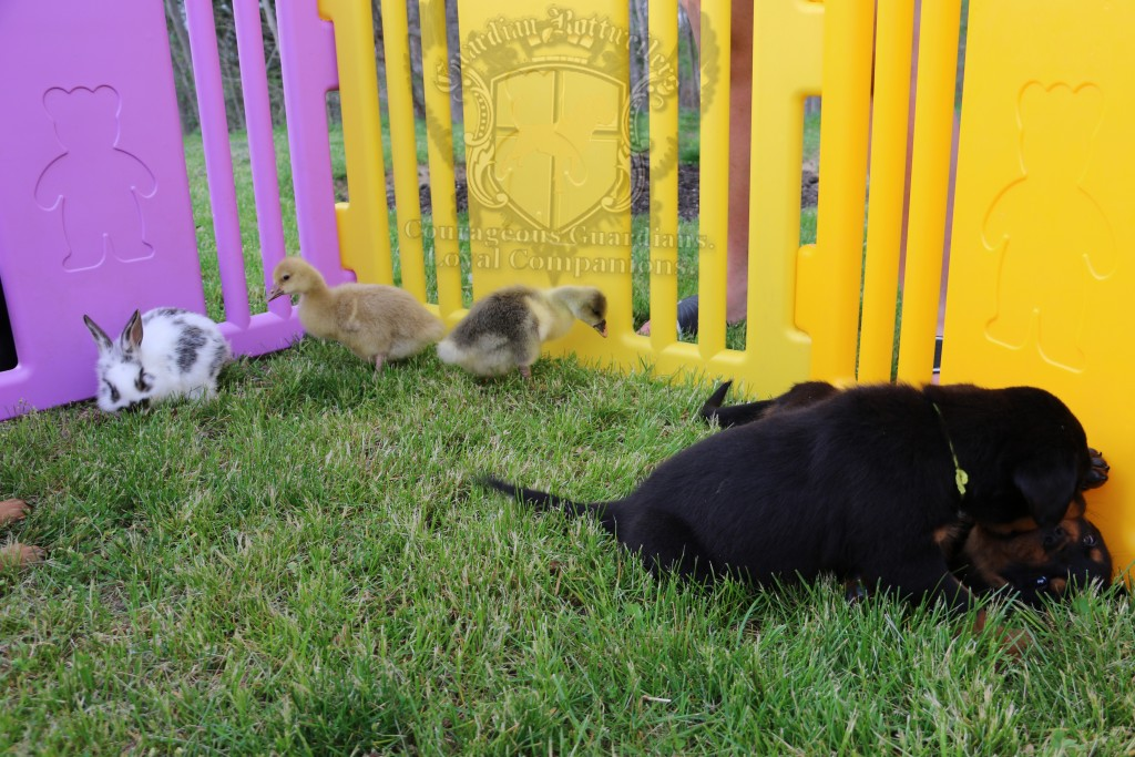 BunniesGeesePuppies12