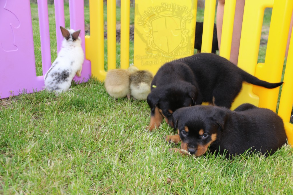 BunniesGeesePuppies14