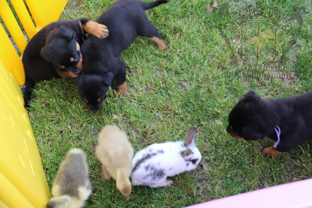 BunniesGeesePuppies15
