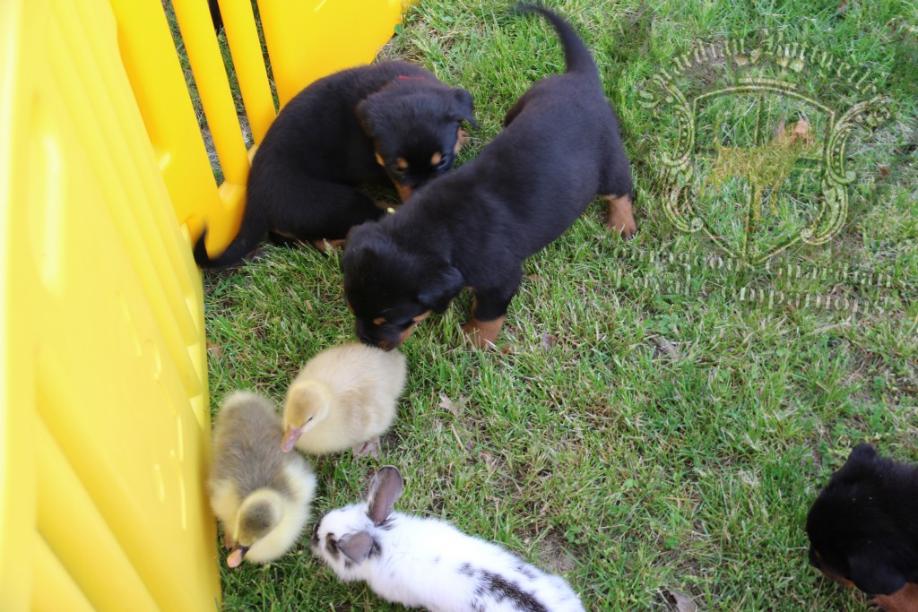 BunniesGeesePuppies17