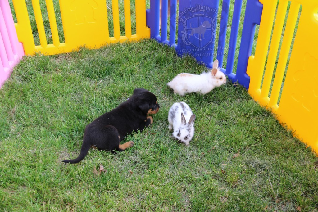 BunniesGeesePuppies20