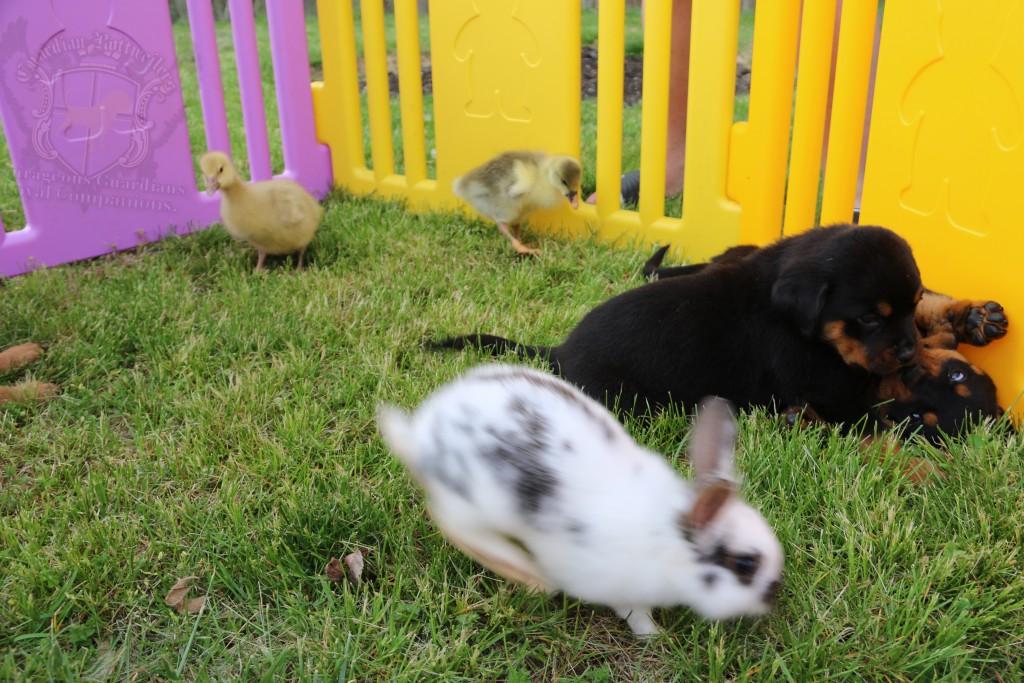 BunniesGeesePuppies09