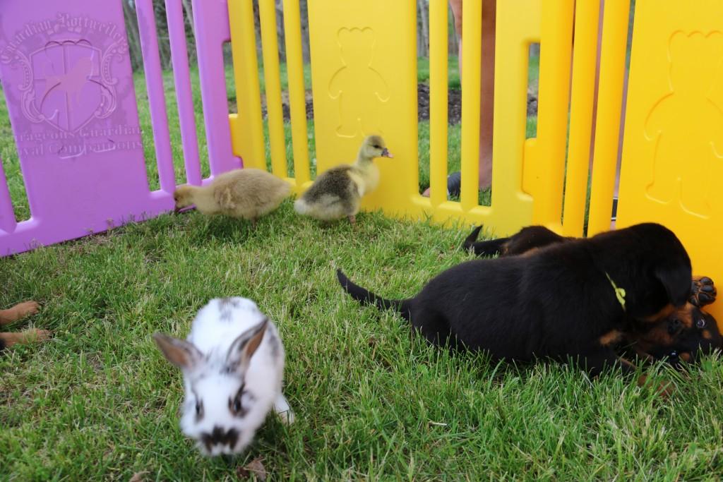 BunniesGeesePuppies10
