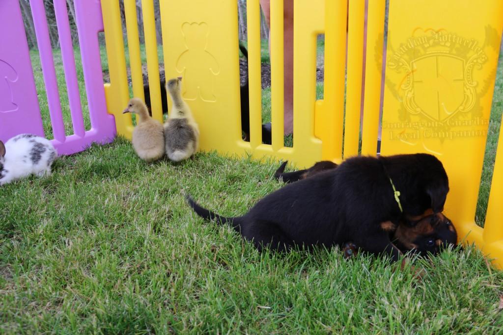 BunniesGeesePuppies13